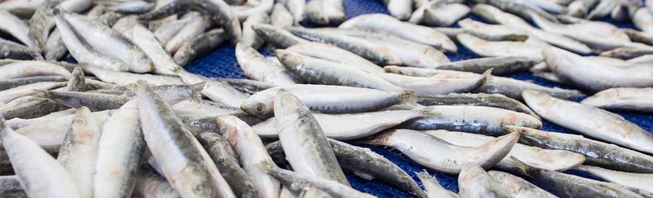 Svježe smrznuta riba